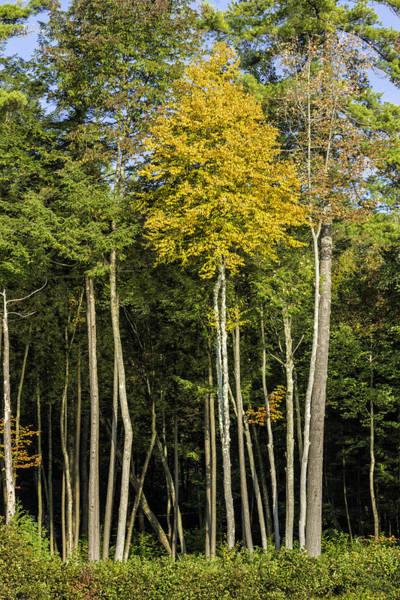 Bolton Landing Wall Art - Photograph - 201409280-001 Tall Straight Trees In Autumn 2x3 by Alan Tonnesen