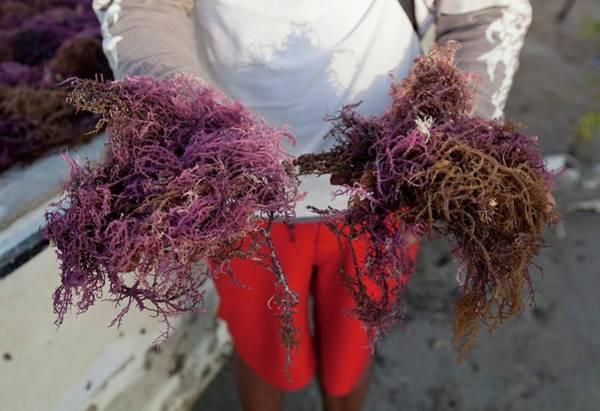 2015 Agar Seaweed Algae Coastal Farming Art Print by Paul D Stewart