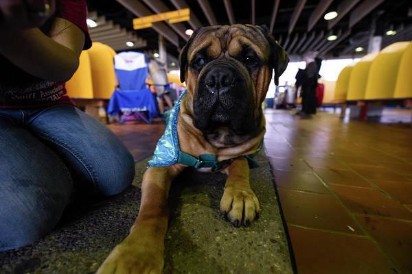 Resting Photograph - 2016 Westminster Kennel Club Dog Show by Matthew Eisman