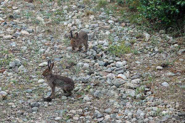 Photograph - 204p Young Snowshoe Hare At Play by NightVisions