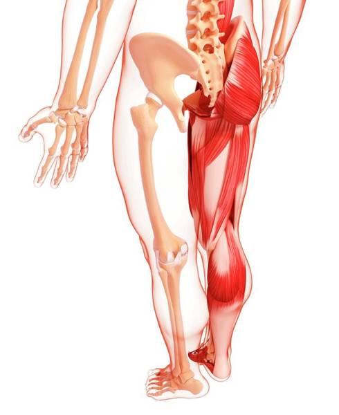 Wall Art - Photograph - Human Leg Musculature by Pixologicstudio/science Photo Library
