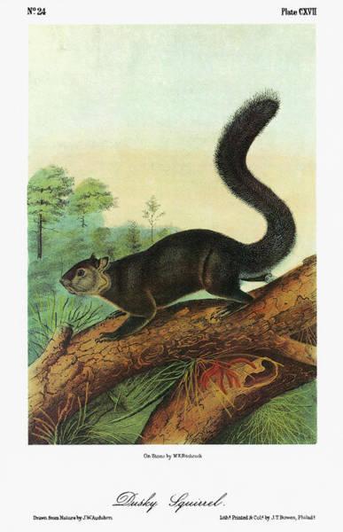 Pine Needles Painting - Audubon Squirrel by Granger
