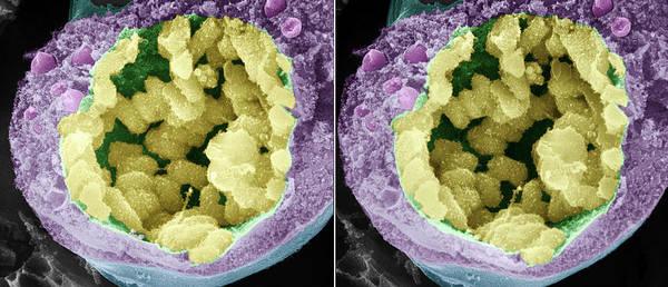 Stereogram Photograph - Dividing Pollen Cell by Professor T. Naguro