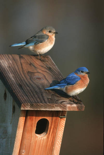 Two Birds Photograph - Eastern Bluebird (sialia Sialis by Richard and Susan Day