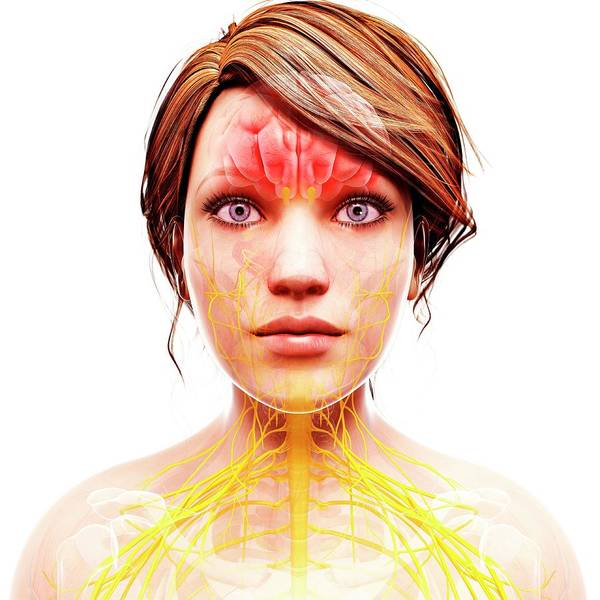 Head And Shoulders Photograph - Female Nervous System by Pixologicstudio/science Photo Library