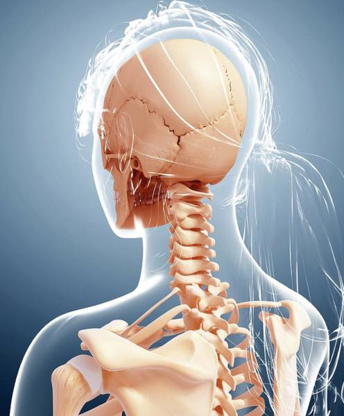 Head And Shoulders Photograph - Female Skeleton by Pixologicstudio/science Photo Library