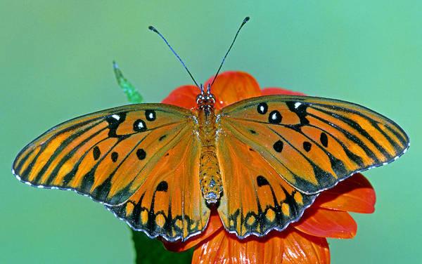 Agraulis Vanillae Photograph - Gulf Fritillary Butterfly by Millard H. Sharp