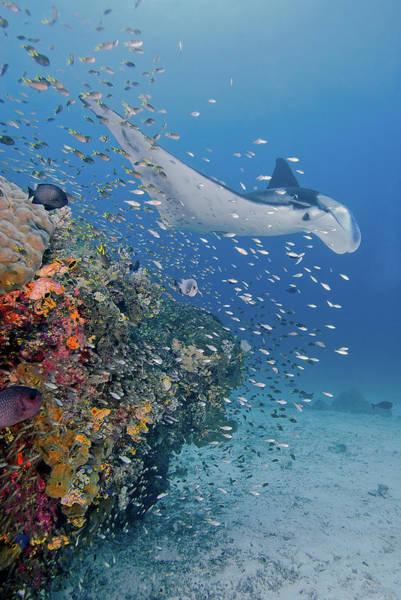 Manta Rays Photograph - Indonesia, Papua, Raja Ampat by Jaynes Gallery