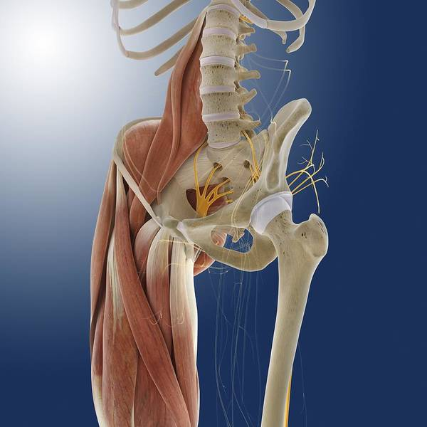Wall Art - Photograph - Lower Body Anatomy, Artwork by Science Photo Library