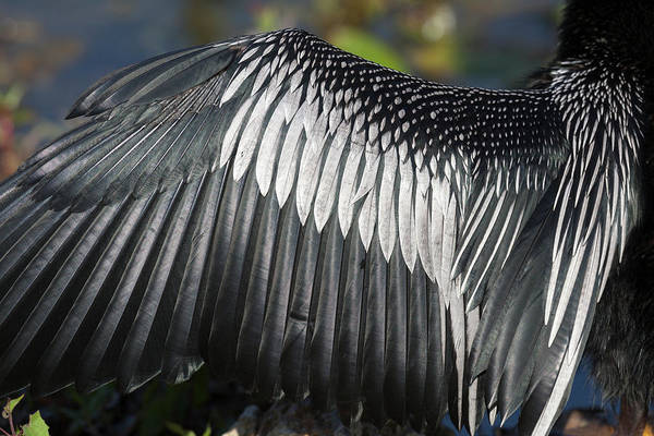 Anhinga Photograph - Usa, Florida, Everglades National Park by Jaynes Gallery