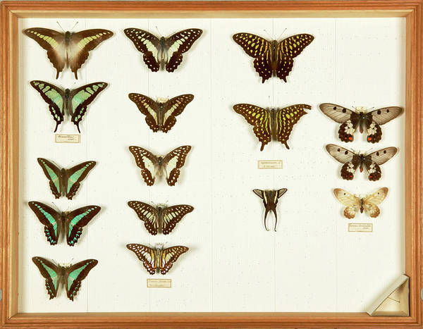 Biodiverse Wall Art - Photograph - Wallace Collection Butterfly Specimens by Natural History Museum, London/science Photo Library