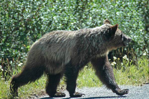 Photograph - 212p Young Grizzly Bear by NightVisions