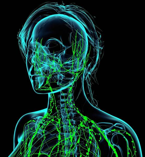 Wall Art - Photograph - Female Lymphatic System by Pixologicstudio/science Photo Library