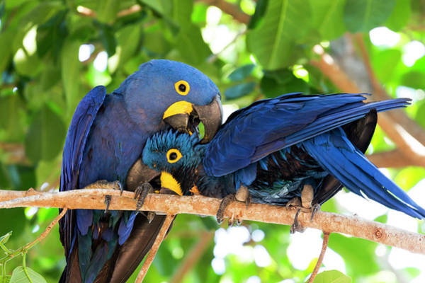 Hyacinth Macaw Photograph - Brazil, Mato Grosso, The Pantanal by Ellen Goff