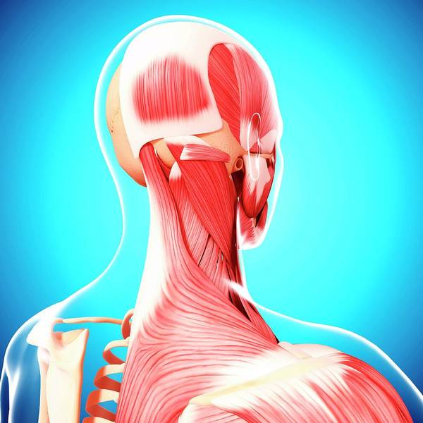 Head And Shoulders Photograph - Human Musculature by Pixologicstudio/science Photo Library