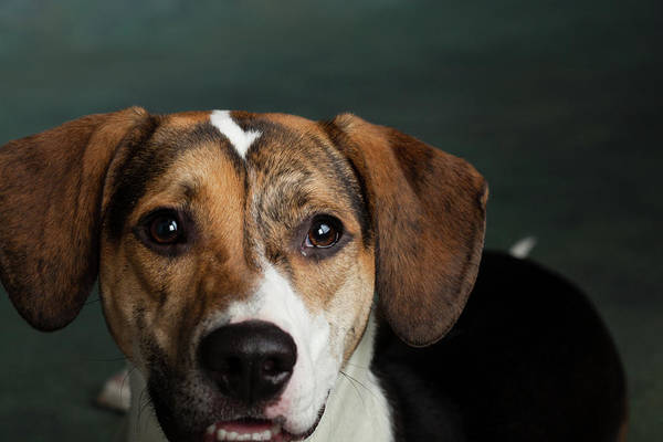 Wall Art - Photograph - Portrait Of A Mixed Dog by Animal Images