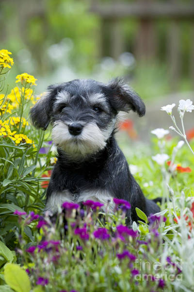 Photograph - Schnauzer Puppy Dog by John Daniels