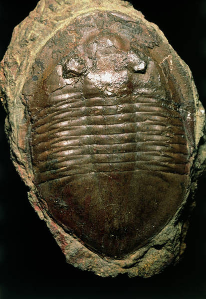 Wall Art - Photograph - Trilobite Fossil by Sinclair Stammers/science Photo Library