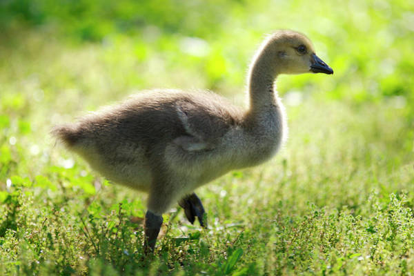 Canadian Goose Photograph - Usa, California, San Diego, Lakeside by Jaynes Gallery