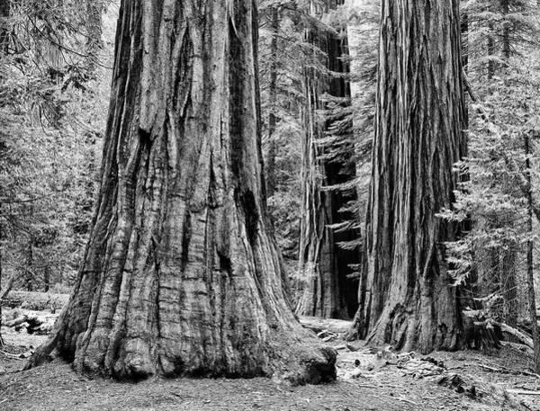 Sequoia Grove Photograph - Usa, California, Yosemite National Park by Jaynes Gallery