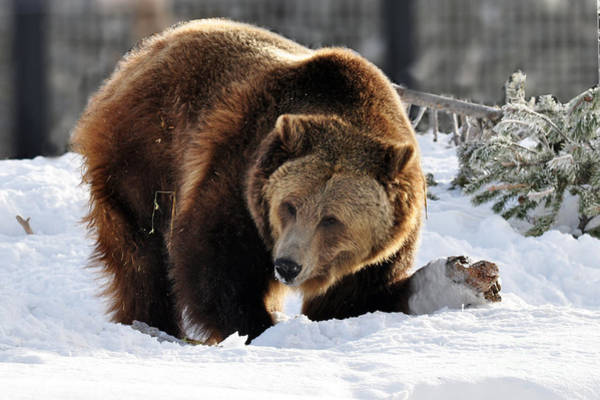 Photograph - 229p Grizzly Bear by NightVisions