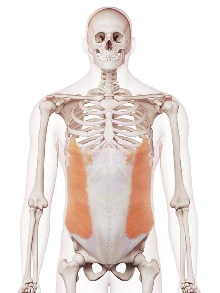 External Abdominal Oblique Photograph - Human Abdominal Muscles by Sebastian Kaulitzki/science Photo Library