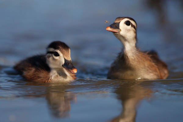 Baby Duck Photograph - Usa, California, San Diego, Lakeside by Jaynes Gallery