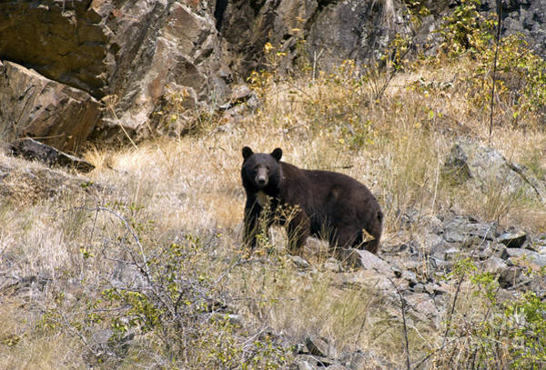 Photograph - 231p Black Bear by NightVisions