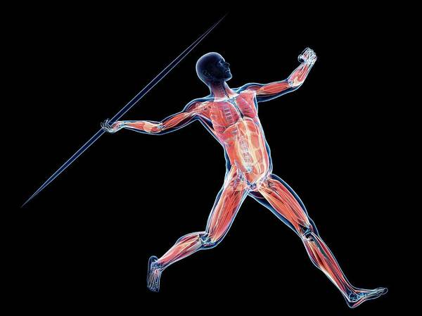 Javelin Photograph - Male Musculature by Sciepro/science Photo Library