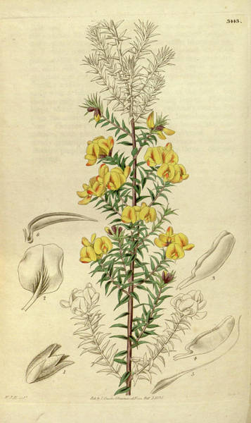 Wall Art - Drawing - Botanical Print By Sir William Jackson Hooker by Quint Lox