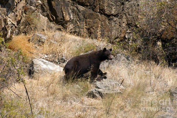 Photograph - 238p Black Bear by NightVisions