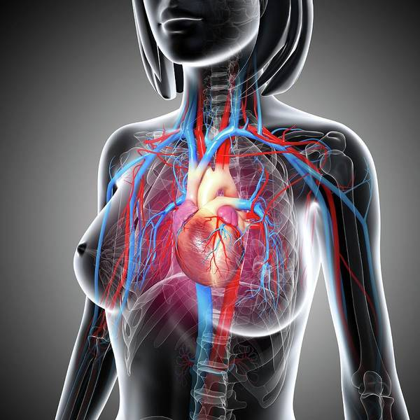 Head And Shoulders Photograph - Female Cardiovascular System by Pixologicstudio/science Photo Library