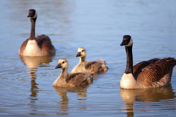Canadian Geese Photograph - Usa, California, San Diego, Lakeside by Jaynes Gallery