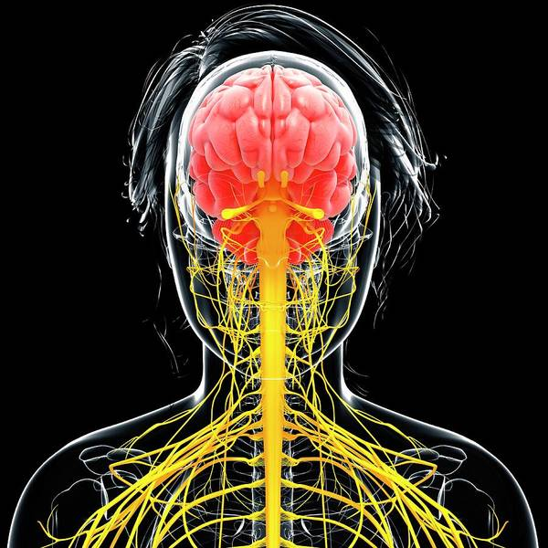 Olfactory Bulb Photograph - Female Nervous System by Pixologicstudio/science Photo Library