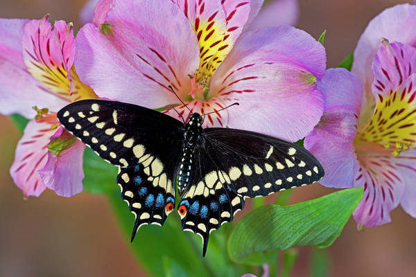 Papilio Polyxenes Wall Art - Photograph - Black Swallowtail Butterfly, Papilio by Darrell Gulin