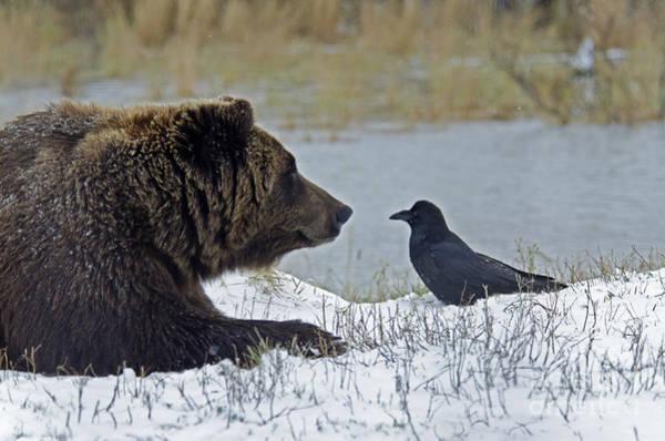 Lean-tos Photograph - Brown Bear by Mark Newman