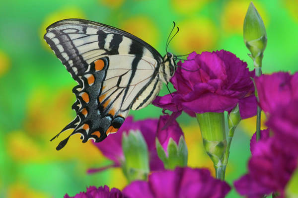 Carnation Photograph - Eastern Tiger Swallowtail Butterfly by Darrell Gulin