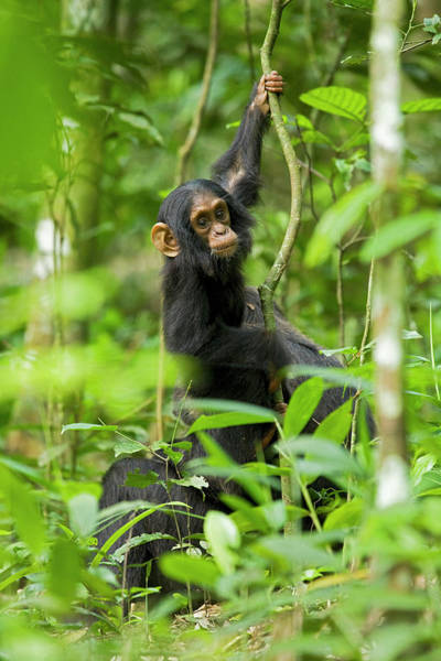 Climbing Vine Photograph - Africa, Uganda, Kibale National Park by Kristin Mosher