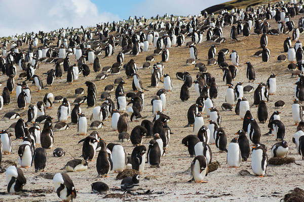 Colony Photograph - Falkland Islands by Inger Hogstrom