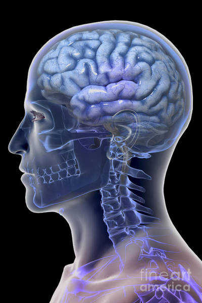 Occipital Bone Photograph - Human Brain by Science Picture Co