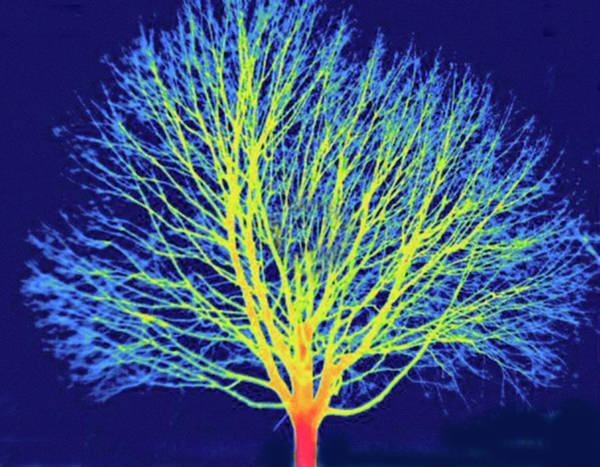 Three Trees Photograph - Thermogram by Science Stock Photography