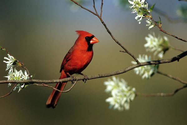 Passeriformes Photograph - Northern Cardinal (cardinalis Cardinalis by Richard and Susan Day