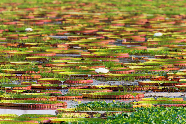Victoria Amazonica Wall Art - Photograph - Brazil, Mato Grosso, The Pantanal by Ellen Goff