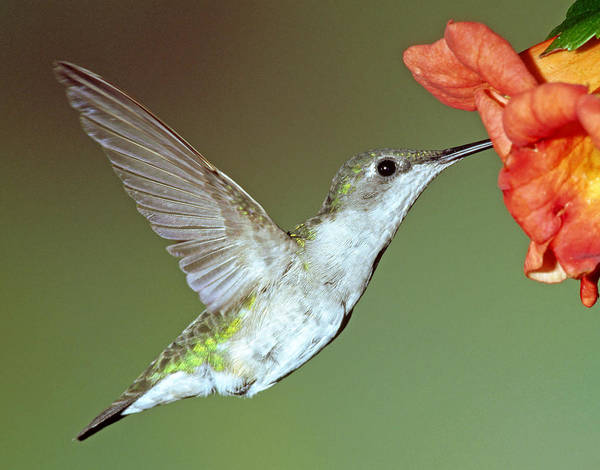 Duval County Photograph - Ruby-throated Hummingbird by Millard H. Sharp