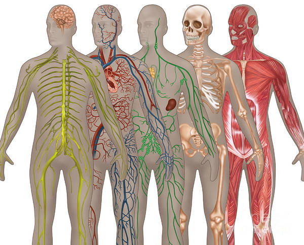 Photograph - 5 Body Systems In Male Anatomy by Gwen Shockey