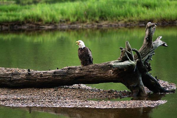 Cabot Trail Photograph - A Bald Eagle, Haliaeetus Leucocephalus by Darlyne A. Murawski