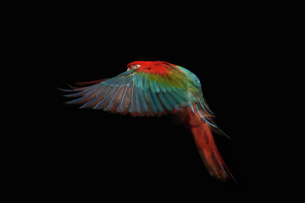Macaw Photograph - A Scarlet Macaw In Mid Flight by Tim Platt