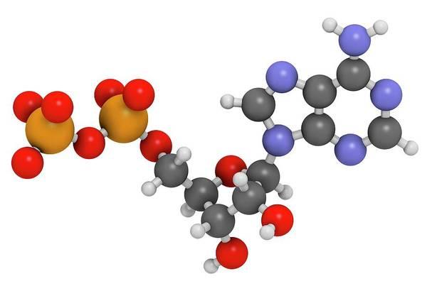 Adenosine Triphosphate Wall Art - Photograph - Adenosine Diphosphate Molecule by Molekuul
