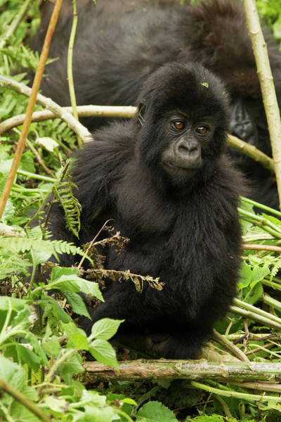 Rwanda Photograph - Africa, Rwanda, Volcanoes National by Joe and Mary Ann Mcdonald