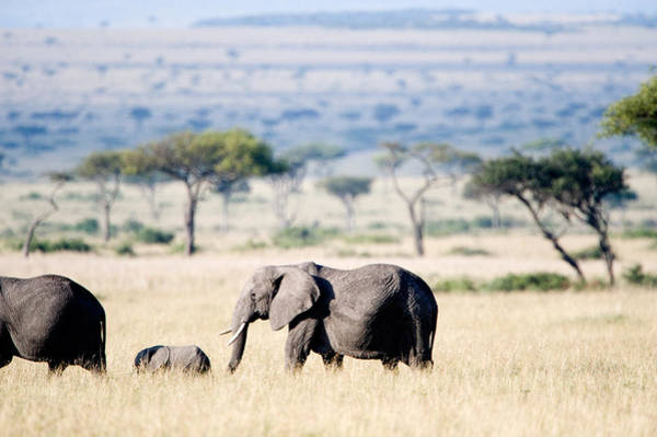 Herbivorous Photograph - African Elephant Loxodonta Africana by Panoramic Images